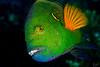 Casanova (Lea's UW Photography) Tags: underwater redsea fins unterwasser cheilinuslunulatus canonef100mm splendourwrasse canon7d leamoser besenschwanzprachtlippfisch