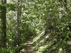 Rhodies on lower Tubal Cain trail.
