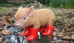 piggy in wellies