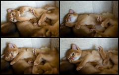 On Top Times Four (peter_hasselbom) Tags: sleeping cats cat 50mm daylight kitten mosaic f14 kittens litter indoors pile asleep abyssinian sorrel ontop 4weeksold cc100 28daysold