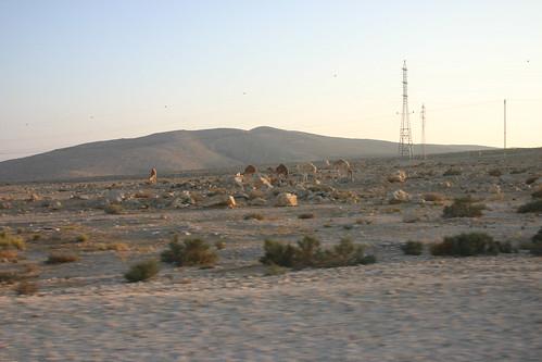 Negev Camels