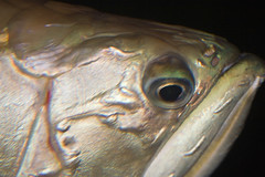 BW596 Fish Face (listentoreason) Tags: usa fish nature animal closeup museum america canon aquarium newjersey unitedstates camden favorites places unknown animalia vivarium vertebrate camdenaquarium toflickr adventureaquarium chordate chordata osteichthyes ef28135mmf3556isusm score25 unknownfish bonyfish fishidentification animalidentification