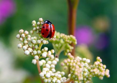 フリー写真素材, 昆虫, てんとう虫・テントウムシ,