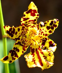 Odonticidium Golden Trident Eye of the Tiger (Nelson~Blue) Tags: golden oncidium odontoglossum trident odonticidium