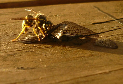 Bee eating a mayfly zoom