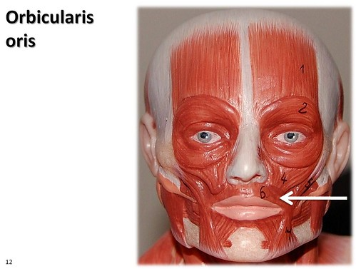 orbicularis oris, small model - muscles of the upper extremity, Human body