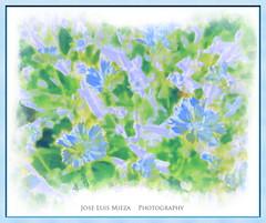 Tempera floral (Jose Luis Mieza Photography) Tags: flowers flores flower fleur fleurs flor benquerencia florews reinante jlmieza reinanteelpintordefuego joseluismieza