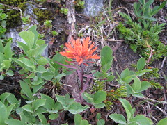 Castilleja rupicola at Red Pass (brewbooks) Tags: s100724 hiking washington kingcounty jsgroup castilleja dicot indianpaintbrush plantae magnoliophyta magnoliopsida red asteridae spermatophyta tracheobionta figwort flower orobanchaceae hemiparasitic lamiales castillejarupicola wiki wikimedia taxonomy:kingdom=plantae taxonomy:binomial=castillejarupicola taxonomy:genus=castilleja taxonomy:family=orobanchaceae taxonomy:subkingdom=tracheophyta tracheophyta taxonomy:phylum=magnoliophyta taxonomy:clade=eudicotyledons eudicotyledons taxonomy:order=lamiales taxonomy:species=rupicola inaturalist:observation=120426 hemiparasites