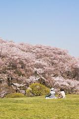 Cherry-Blossoms (ogr) Tags: flower japan zeiss cherry landscape rebel 50mm prime contax sakura yokohama planar carlzeiss zeiss50mmf14 aej planart1450 canoneos450d lightroom3 canoneoskissx2 gettyimagesjapan12q1