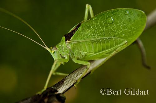 Leafbug-4