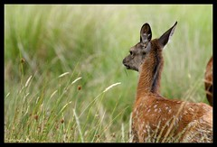 Baby in the breeze (Grievous247) Tags: wild nature fur infant wildlife deer fawn roedeer naturelovers a700 sonya700 sal70400g