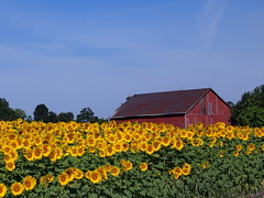 Sunflowers (walidhassanein) Tags: red ontario canada barn rural guelph sunflowers