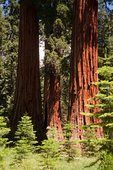 Sequoias in the Meadow Photo