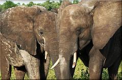 mud is good... (JuttaMK) Tags: africa elephants botswana 2010 chobenationalpark specanimal bfgreatesthits mauekay