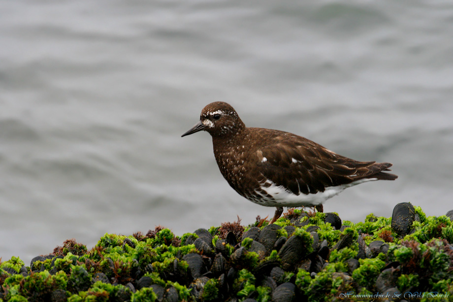 Black-Turnstone-071007