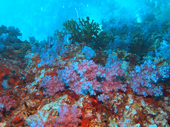 Soft coral, Thailand