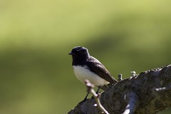 Unknown Bird (morribrad) Tags: bird animal fauna canon eos aperture outdoor wildlife australia canberra dslr aus amateur animalplanet act avian beginner 500d canonef400mmf56l morribrad