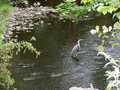 Heron on Water of Leith, Stockbridge, Edinburgh