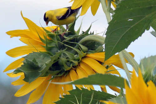 sunflower 077