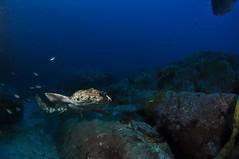 SWRAUG2010 191 (Custom) (AussieByron) Tags: fish rock southwestrocks swr gns greynurseshark tokina1017mm nikond90 aquaticahousing wwwsouthwestrocksdivecentrecomau