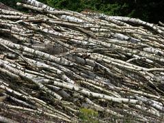 2010-08-08 Birch Trunks (beranekp) Tags: wild mountains tree nature czech trunk birch ore strom baum erzgebirge sonnenberg hory birken bříza krušné výsluní suniperk krušnohoří birkenstämmen