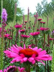 Echinacea Universe (Jörg Paul Kaspari) Tags: floral echinacea magenta ornamental perennial liatris pracht spicata purpur purpurea pietoudolf stauden baddriburg präriestauden präriestaude rubinstern staudenpflanzung