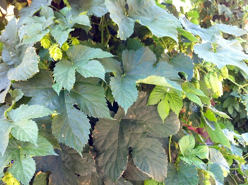 Hops are getting close to harvest!