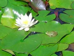 frog / rana / grenouille / Frosch (Andrea Enrico) Tags: nénuphars grenouille enattendantleprince