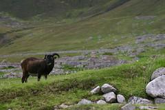 St Kilda - Soay Sheep
