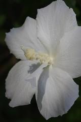 木槿(ムクゲ)の花いろいろ