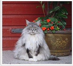 Maxwell in Gedanken - Maxwell lost in thought (Jorbasa) Tags: pet plant flower animal cat germany deutschland hessen blossom pflanze mainecoon maxwell katze blume blte kater impatiens tier tomcat wetterau kbel impatienswalleriana cc100 jorbasa fleisigeslieschen blacksilverclassictabby