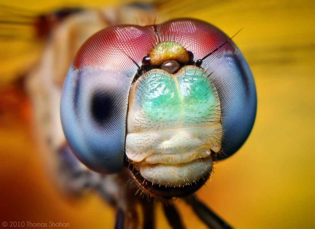 Bug close-up: Blue-faced Meadowhawk
