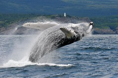 """DSC_3513   """"a bath with a smile"""" (On July31, 2015, 100k plus views of this photo! Thank you all very much. Your thoughts and time are much appreciated.)) (ChanHawkins) Tags: bravo ngc npc whales wow2 wow3 wow4 ostrellina flickrestrellas waterenvirons vividstriking elitegalleryaoi onlythebestofnature greatestphotographers peregrino27life aboveandbeyondlevel1 blinksuperstars bbng masterclasselite allofnatureswildlifelevel1 aboveandbeyondlevel2 rememberthatmomentlevel1"""