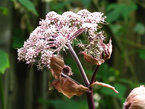 Angelica stricta 'Purpurea'