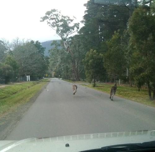 Kangaroos in Macedon II