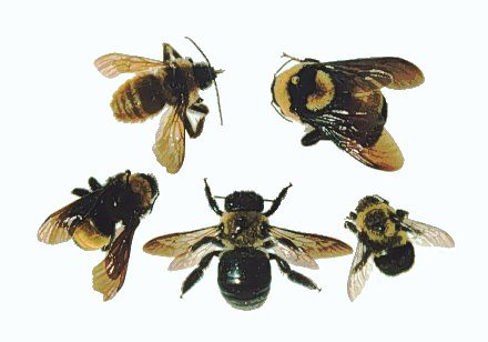 Comparison_carpenter_bee_bumble_bee