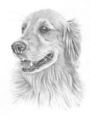 Golden Retriever (tiberiopencilart) Tags: portrait dog pets white black art nature smile animals goldenretriever nose happy gray wallart whiskers reproduction pencilandpaper archivalprint petlover highlydetailed