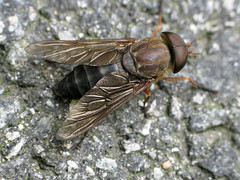 Big Ol' Horsefly Day Friday (zxgirl) Tags: alexandria bug insect virginia fly insects bugs va flies arthropods arthropoda horsefly s5 huntleymeadows arthropod diptera insecta img7077