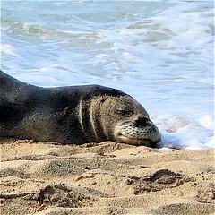 respite (alight) Tags: sleep thismorning alight respite hawaiianmonkseal kaalawaibeach lioholoikauaua dogthatrunsinthesea