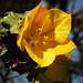 Yellow tree blossom