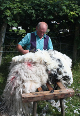 Sheep shearing 1 (flyhoof) Tags: show park county uk england white lake man english wool sports sport demo fly hand sheep display britain farm district traditional country farming fair clip demonstration national cumbria british local horn fleece shorn hoof technique lakeland coniston clipping shearing shears shear cumbrian torver skeffto flyhoof