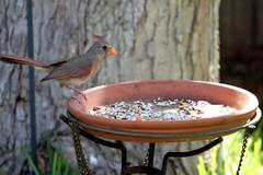 Cardinal and Safflowers