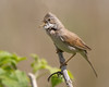 Song (Andrew Haynes Wildlife Images) Tags: bird nature wildlife coventry warwickshire warbler whitethroat brandonmarsh canon7d ajh2008