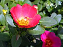 Portulache2 (briz72) Tags: flowers macro nature colors beauty fleurs photography photo poetry foto couleurs natura beaut poesia fotografia fiori colori bellezza poesie polline