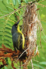 Todirostrum cinereum (mazama973) Tags: building birds nest familier tyrannidae frenchguiana cinereum todirostrum todirostre