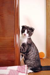 Standing on 2 legs (Long Sleeper) Tags: pet animal standing cat scottishfold sachi dmcgf1