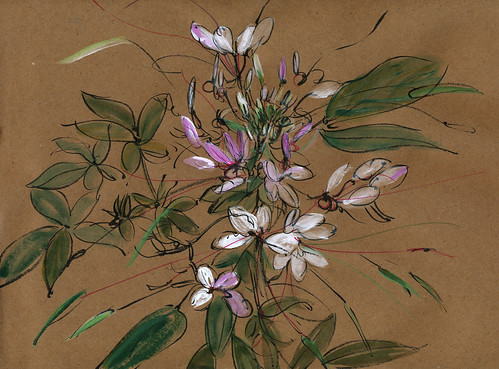 Cleome, Gallic shrug
