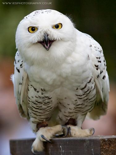 Snowy Owl BWC