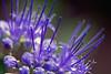 Flowerworks - Caryopteris x clandonensis (Domdomfrommionnay) Tags: blue flower macro nature fleur purple bleu macrophotography macrorings caryopteris kenkoextension canoneos50d canonef75300mmf456usm flickraward caryopterisxclandonensis macroflowerlovers flickraward5 flickrawardgallery