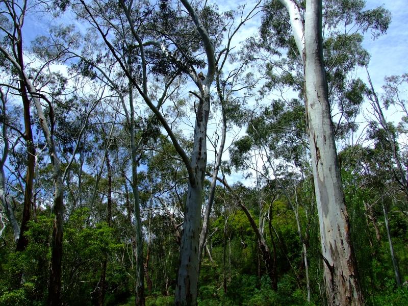 find the koala